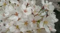 4月2日、満開の桜の下でお弁当を食べました。 散る直前という感じの桜に囲まれて、 花見気分を味わいました。