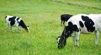 先日、喘息の症状を軽減するために牛乳や乳製品の摂取を控えると書きました。 なぜ、そうしたほうがいいのかという理由を補足したいと思います。 1.牛乳中のたんぱく質は、アレルゲンになりやすく、 家系的にアレルギーのある人たちの免疫系に余計な負担をかける。 2.乳幼児期を過ぎると、アジアやアフリカ出身の人には 牛乳に含まれる乳糖を消化するための酵素(ラクターゼ)が ...