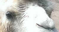 子供会のお別れ会に参加して、山口県美祢市にある 秋吉台自然動物公園サファリランドに行ってきました。 日帰りバス旅行の距離としては、少し遠い500㎞を超え、 途中トイレ休憩を2回取りながら4時間かかりました。 サファリランドでは、長旅の疲れを忘れさせてくれる触れ合いがたくさんありました。 (往復で8時間ほどバスに乗ってましたので) 猛獣(ライオン、トラ、ホワイ ...
