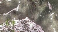 今年は桜が長く楽しめる珍しい年だそうです。 昨日、イトーヨーカドー近くの公園で桜を見ながら、ホカ弁を食べました。 風に桜の花びらが舞い、たまにお弁当に入るのを出しながら食べていたら、 とても花見らしい気分になりました。 昨日の晩から降り続いている雨ですが、風が強く吹いていないので、 明日もまだ見られるところが多そうです。 近所の公園に行くと、プチ花見で気分が ...