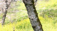 桜が咲くころに、こんなに長く晴れの日が続くのは、珍しいですね。 昨日、桜の名所日本100選に選ばれている鶴山公園に行ってきました。 以下をクリックすると、2018津山さくらまつりのサイトにジャンプします。 http://sakuramatsuri.e-tsuyama.com/ こんな風に夫婦二人でドライブ、10年ぶりぐらいでしょうか?? 行きは、倉敷まで山陽 ...